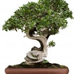 Entretenir un bonsaï de ficus