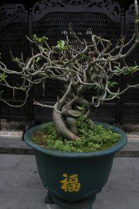 bonsaï ficus qui perd ses feuilles