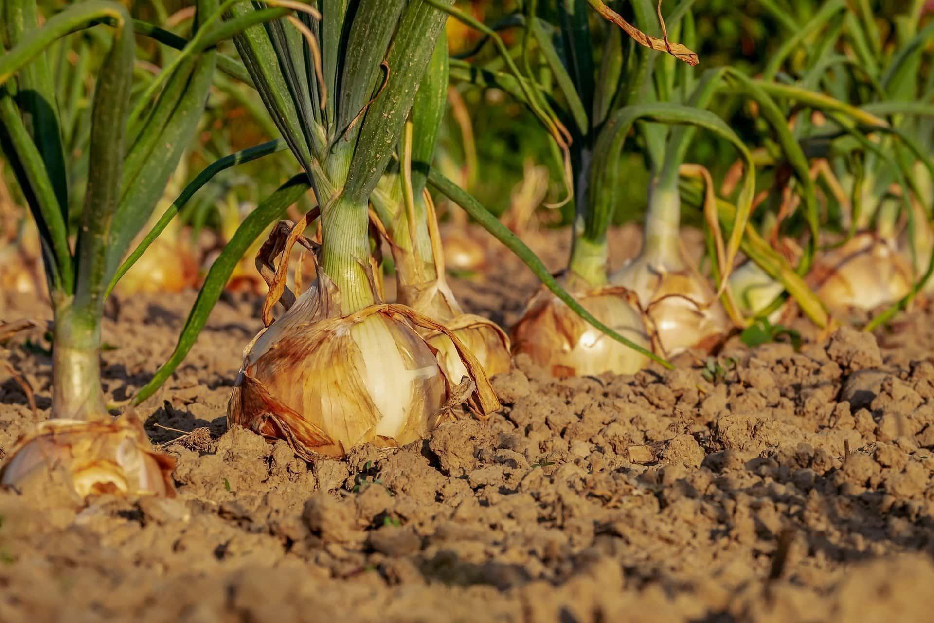 Plantation d'oignons